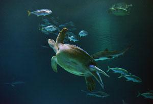 Mandalay_Bay_Shark_Reef_Aquarium_OD_on_display_Photo_Credit_Darrin_Bush_Las_Vegas_News_Bureau